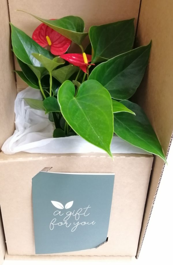 Anthurium in a box