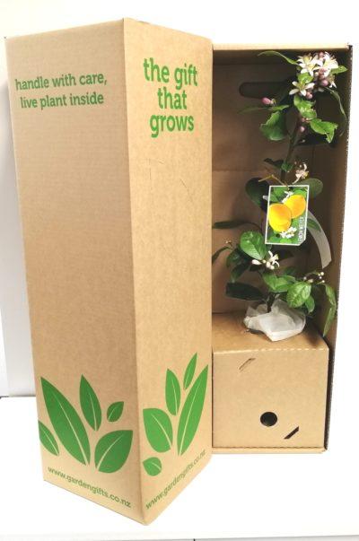 Lemon in a Gift box
