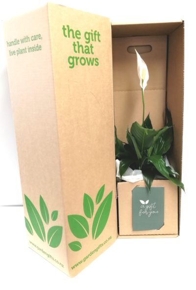 Peace Lily in a box
