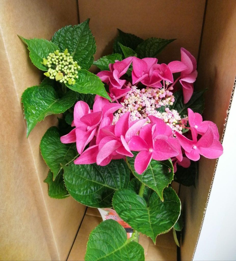 Hydrangea Strawberries and Cream